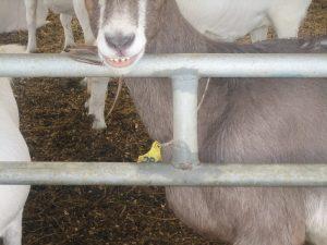 Corohawk Goat Shelters
